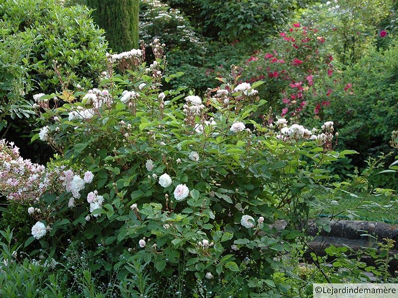 Soci t fran aise des roses roseraies priv es m ritant une visite en france lyon et dans for Jardins a visiter