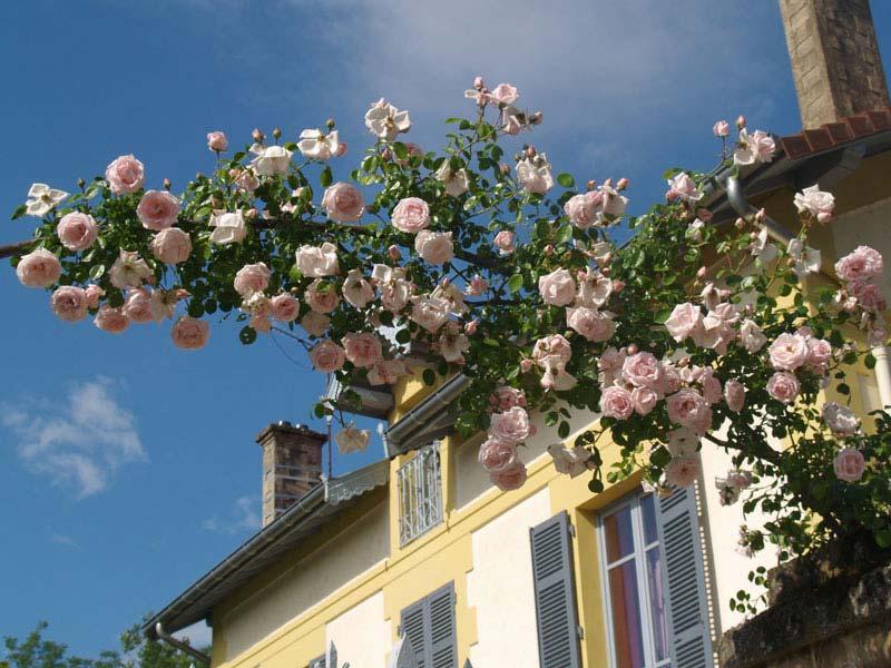 soci t fran aise des roses d crire un rosier est. Black Bedroom Furniture Sets. Home Design Ideas