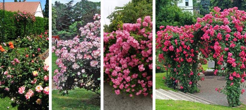 soci t fran aise des roses la rose est cultiv e dans les jardins depuis plusieurs si cles. Black Bedroom Furniture Sets. Home Design Ideas