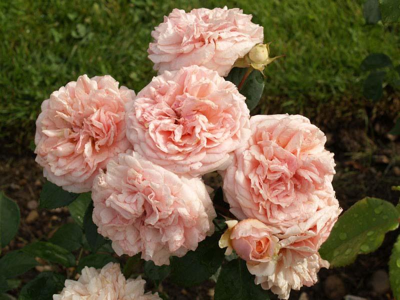société française des roses - décrire un rosier est important pour
