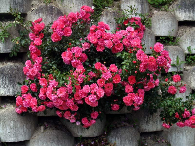 soci t fran aise des roses comment choisir son rosier buisson tige pleureur arbuste. Black Bedroom Furniture Sets. Home Design Ideas