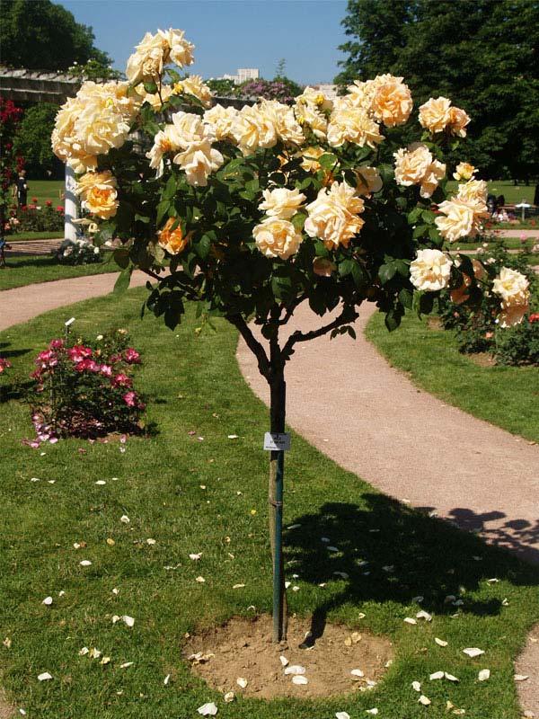 Soci t fran aise des roses la classification des roses - Quand bouturer les rosiers ...